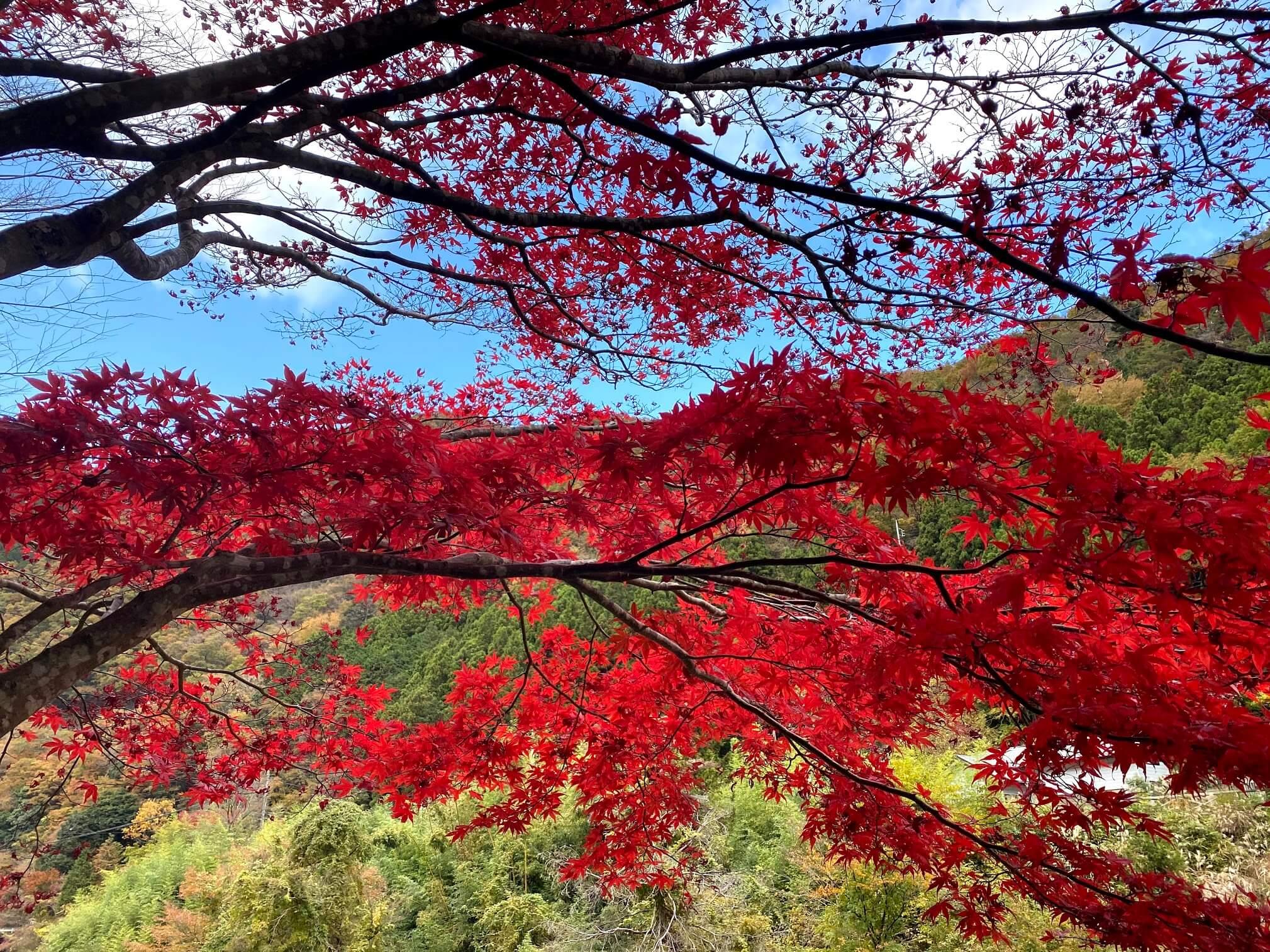 道志の森キャンプ場 紅葉狩り